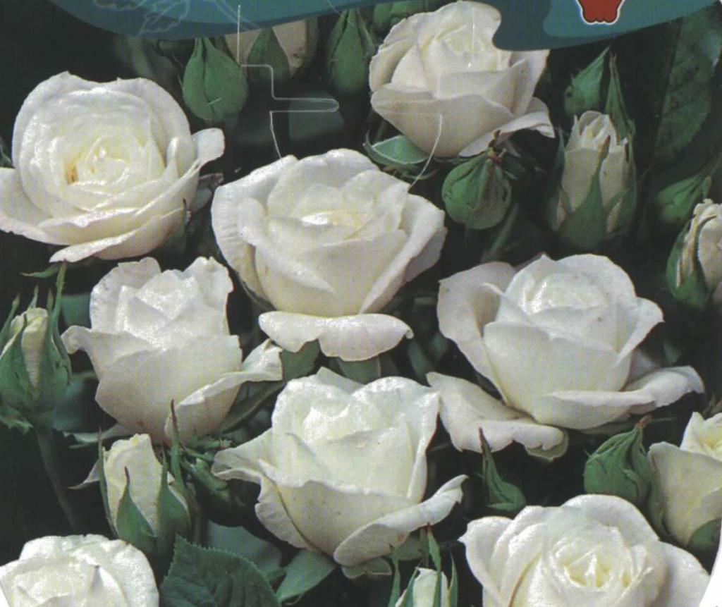 Comprar rosal miniatura leticia en augusta jard n for Viveros el rosal